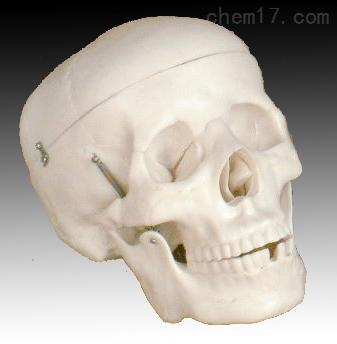 成人头颅骨模型 人体各大器官