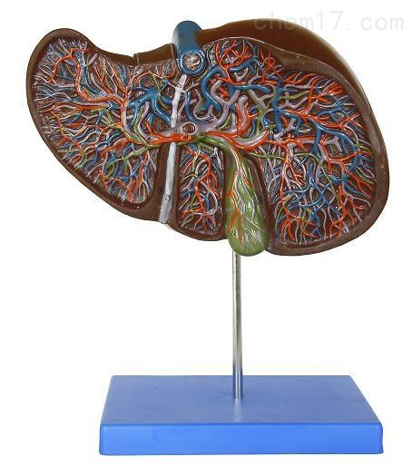 肝解剖模型  人体各大器官