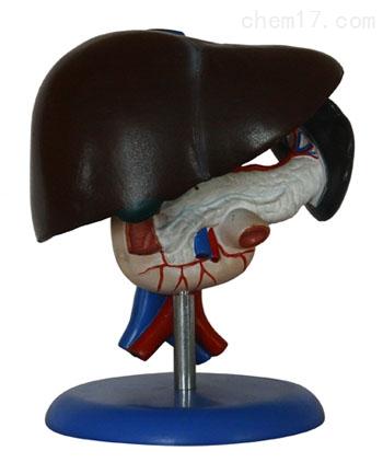 肝胰十二指肠模型 人体各大器官