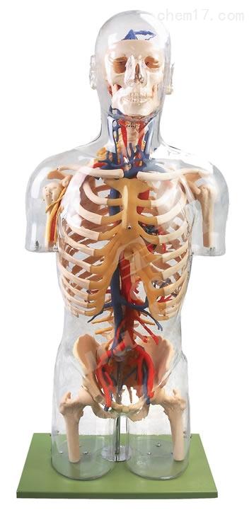 透明半身躯干附血管神经模型 人体各大器官