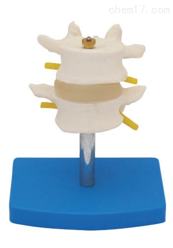 正常腰椎组合(二节) 人体各大器官