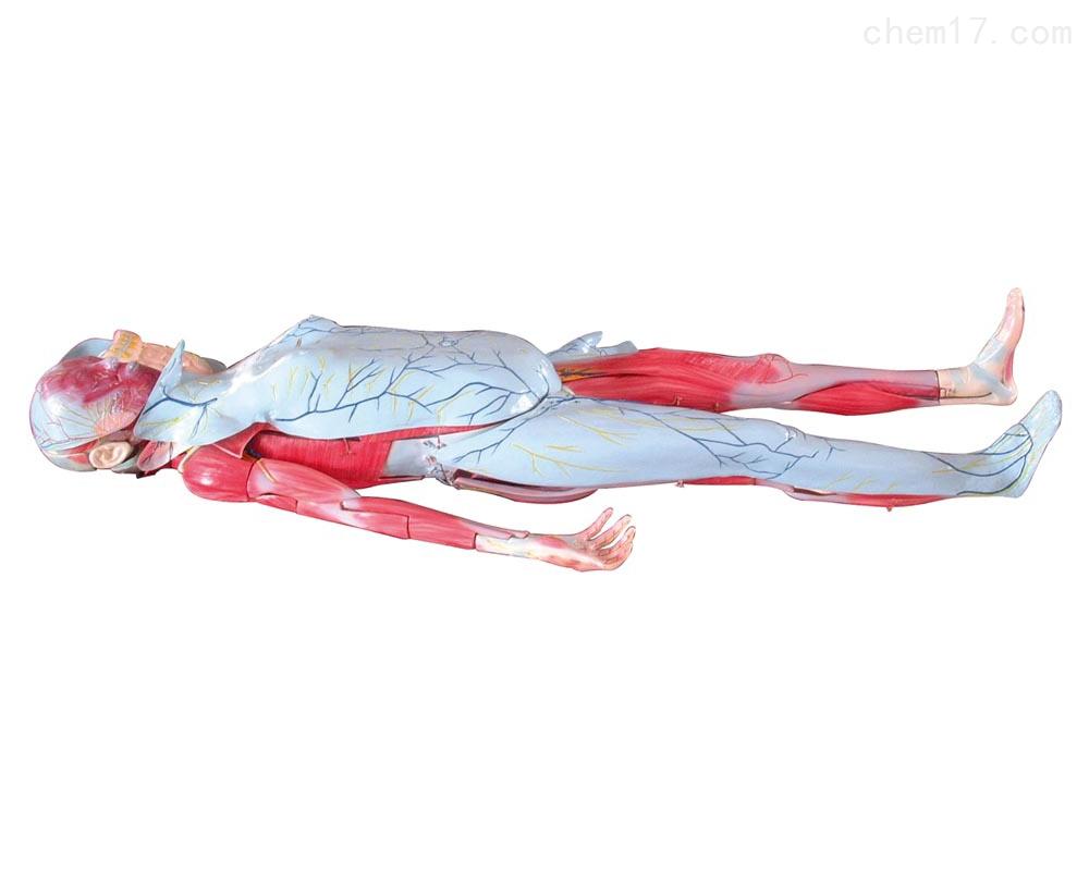 姜式人体层次解剖模型