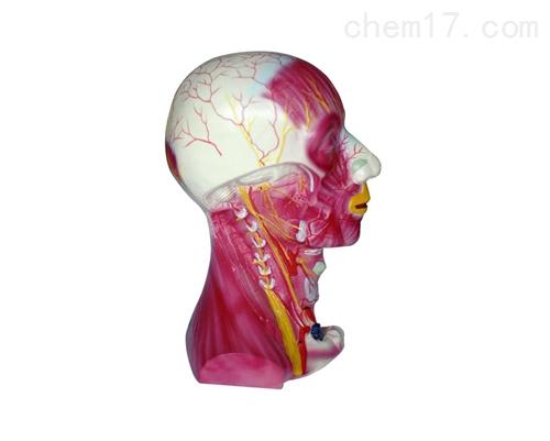 颈部深层肌肉血管神经模型