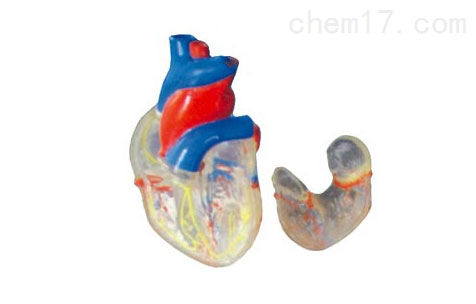 透明心脏解剖(自然大)