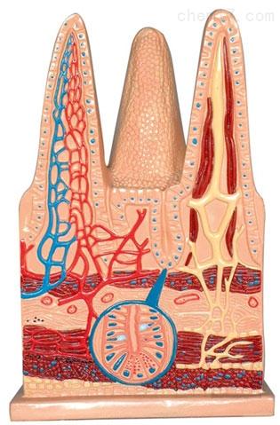 肠绒毛组织模型 生物模型