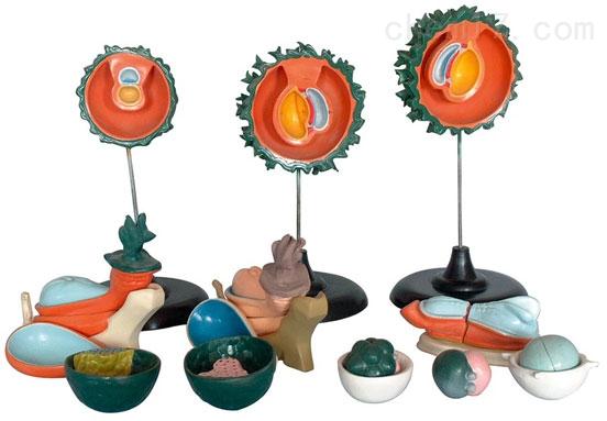人胚受精、卵裂和胚泡形成过程(13部件) 生物模型