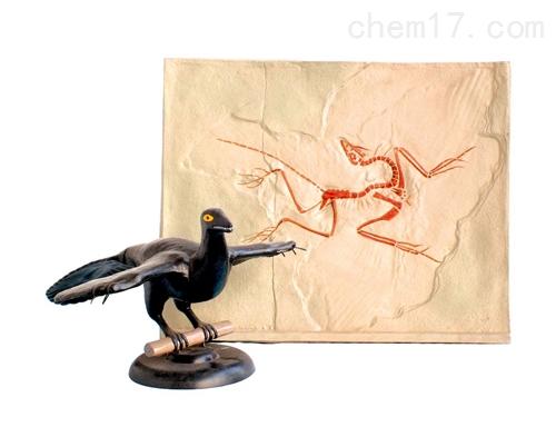 始祖鸟化石及复原模型 生物模型