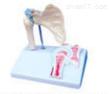 肩关节及韧带附矢状剖面模型  教学模型