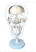 颅骨骨性分离模型  教学模型