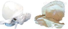 颞骨解剖放大  教学模型