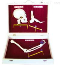 人体骨杠杆分类模型  教学模型