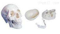 三部分头颅骨模型 教学模型