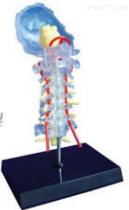 透明枕骨颈椎和椎动脉脊神经脑干模型 教学模型