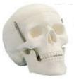 学生用头颅骨模型(三部件) 教学模型