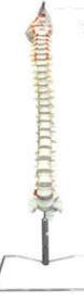 枕骨脊柱和脊神经解剖模型  教学模型