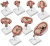 KAH-42005新型妊娠胚胎发育过程模型