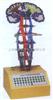 GD/A18217中枢神经传导电动模型