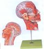 GD/A18210头部正中矢状切面附血管神经模型