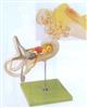 GD/A17205内耳迷路放大模型