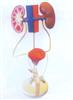 GD/A14003男性泌尿生殖系统模型