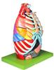 GD/A13016胸腔解剖模型