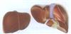 GD/A12008肝脏模型