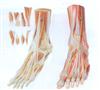 GD/A11309足肌附主要血管神经模型