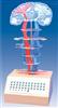 中枢神经传导电动模型