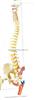 枕骨脊柱、骨盆、股骨头和脊神经附着色点解剖模型   教学模型