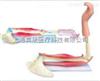 SMD021肘关节  教学模型