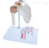 SMD02512肩关节附矢状剖面模型  教学模型