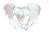 SMD018男性骨盆  教学模型