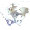 SMD0171女性骨盆附第3、4腰椎 教学模型