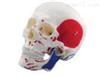SMD00613人体颅骨附肌肉起止点,自然大  教学模型