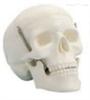SMD007学生用头颅骨模型(三部件) 教学模型
